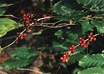 Close-up of a coffee plant
