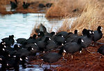 American Coot Flock