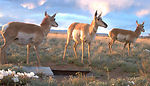 Antelope at Sevilleta National Wildlife Refuge