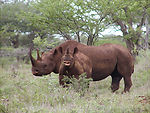 Black rhino with calf (male)