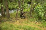 Brown bear cubs playing by river