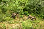 Brown bear cubs running through the brush