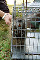 A Caged Nutria Awaits Tagging
