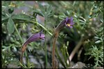 Medium shot of Naked Broomrape wildflowers (Orobanche Uniflora).