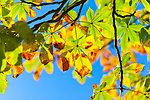 Autumn buckeye tree