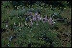 Farshot of Bigleaf Lupine wildflowers.