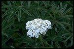 Medium shot of Yarrow wildflower (Achillea millifolium) and Lupine leaves.