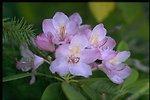 Closeup shot of Rhododendron macrophyllum.