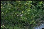 Farshot of Rhododendron macrophyllum.