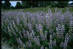 Medium shot of lupine wildflowers (Lupinus arcticus).