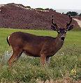 Buck eating on dune