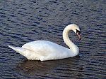 Mama swan