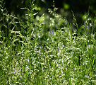 Tall grass with seeds