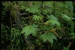 Medium shot of stink currant (Ribes bracteosum).