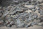Gregarious marine iguanas holding a convention.