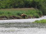 Large Alaska Brown Bear (Ursus arctos) waiting for dinner to swim by.