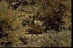 Black-tail Jackrabbit standing in sagebrush.