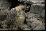 A porcupine trying to get into a rocky hole.