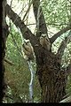 Great horned owls perched in a tree.  (Bubo virginianus)