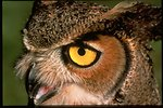 Close up photo of a Great horned owl's face.