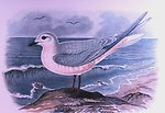 Rhodostethia rosea, male, adult in winter plumage.  In:  'Report of  the International Polar Expedition to Point Barrow ....'   Expedition leader Lieutenant P. H. Ray.  Published in 1885.  Library Call Number Q115.I6 U6 1885.