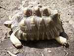 A sulcata tortoise (Geochelone sulcata) , a land-dwelling reptile native to Northern Africa.