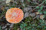 Mushroom (Amanita muscaria) famed for its hallucogenic properties.  Can be toxic.