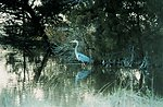 A great blue heron in a tidal pond