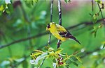American goldfinch (Carduelis tristis) on a tree branch.