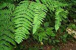 Graceful ferns adorn coastal forested regions in Oregon.