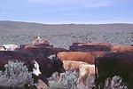 Immigrant Flats, Baker City RA. Herding cows.