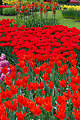 Vivid red tulips