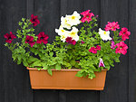 Petunias in pot