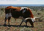 Some bull
