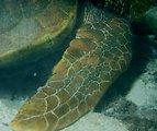One Tree Reef. Green sea turtle (Chelonia midas).