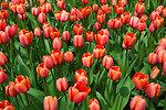 Fresh red tulips