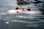 A dead fish floats on the surface after the April 7th Swanson Creek oil spill.