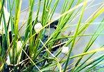 Marsh snails, Littorina littorina.