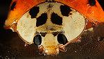 Lady bug face