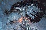 Loggerhead sea turtles are a threatened species of sea turtle.  Every year over  4,000 female loggerhead sea turtles nest on the beaches with Canaveral National  Seashore.