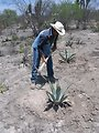 Agaves for erosion control