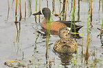 Blue-winged teal pair Sand Lake National Wildlife Refuge