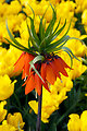 Orange crown imperial flower