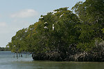 Brown pelicans in mangrove trees