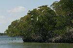 Brown pelicans in mangrove trees