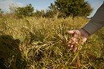 Buffle Grass, an invasive species