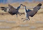 sandhill cranes dance
