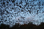 Mexican free-tailed bats exiting Bracken Bat Cave