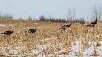 Turkeys looking for winter forage
