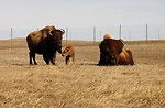 American bison family